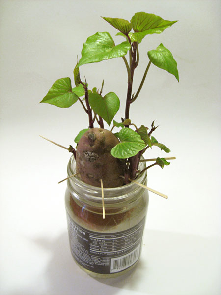 You can start your own sweet potato vines just like this - break them off at the potato and bury all but the growing tip.