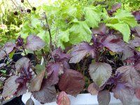 Red and Green Shiso
