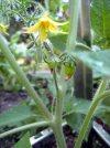 tiny green tomatoes