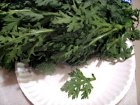 chrysanthemum leaves Shungkiku