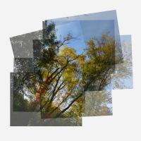 Golden Walnut Trees
