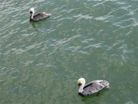 Brown Pelicans, Naples Pier, Florida