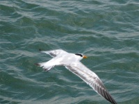 Flying tern, Naples Pier, Florida