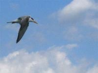 Flying tern, Naples Pier, Florida