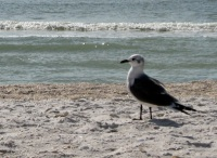 Gull on Tigertail Beach, Marco Island, Florida