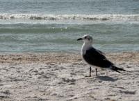 Gull on Tigertail Beach, Marco Island, Florida