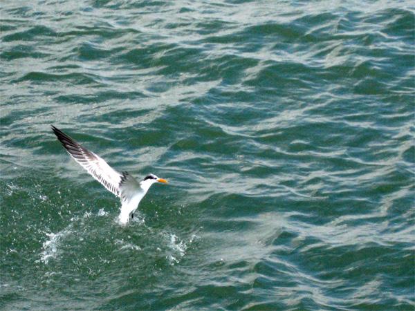 Fishing tern, Naples Pier, Florida