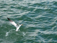 Fishing tern, Naples Pier, Florida