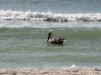 Brown Pelican, Tigertail Beach, Marco Island, Florida