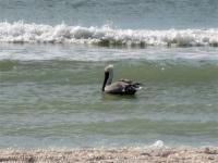 Brown Pelican, Tigertail Beach, Marco Island, Florida
