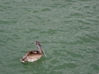 Brown Pelicans, Naples Pier, Florida