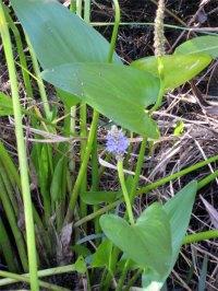 corkscrew-blue-flower