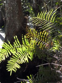 corkscrew-ferns