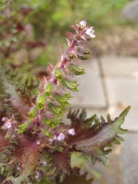 shiso-flowers_0530