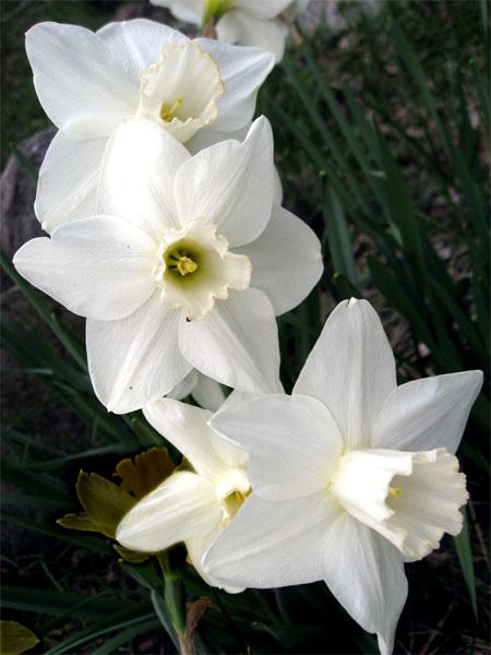 daffodils2_5615