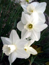 daffodils_5615