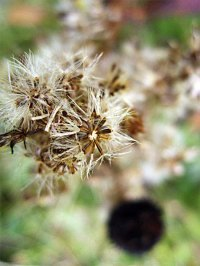 aster-seeds_8644