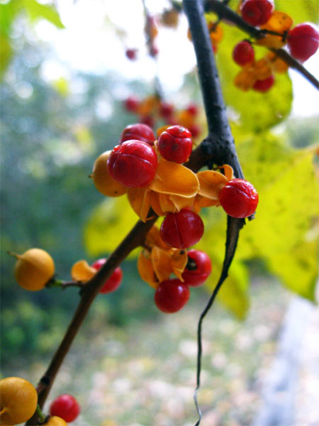bittersweet-berries_8733