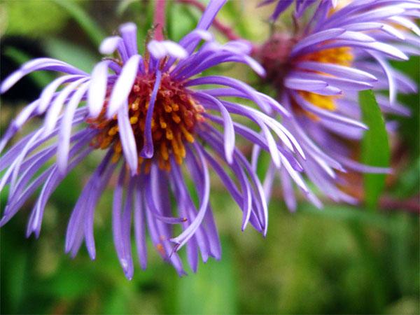 purple-aster_8647