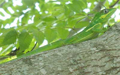Wikipedia knight anole