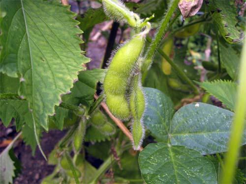 Fuzzy Beans: Edamame | Tess's Japanese Kitchen
