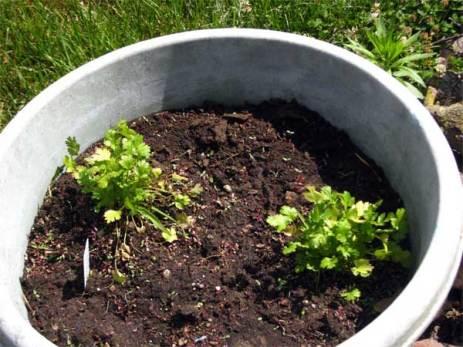 cilantro, not planted until 4 June