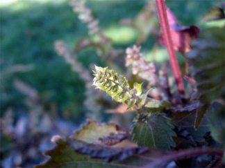 Failed flowers: frost too soon…